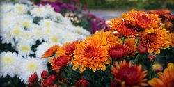 mums-featured